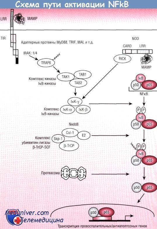 Патогенез пути nfkb/rel в реакции эпителия кишечника на бактерии