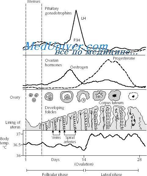 Транзицијата на лутеалната-фоликуларна фаза на менструалниот циклус. регулатива