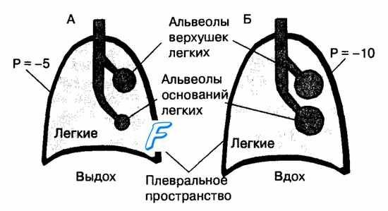 Перфузијата на белите дробови крв. Ефектите на гравитацијата на вентилација. Ефектите на гравитацијата на крв перфузија на белите дробови.