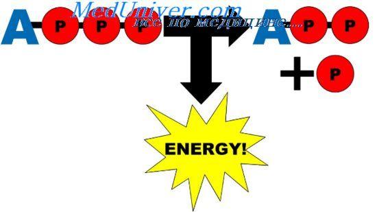 Определение интенсивности метаболизма. Прямая и непрямая калориметрия