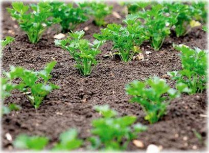 Магдонос, одгледување, сорти
