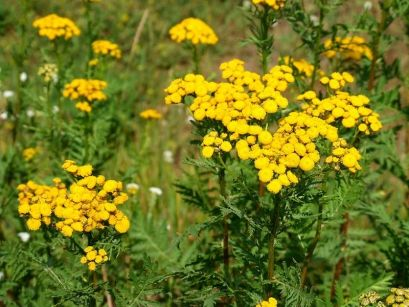 Tansy, kultivace