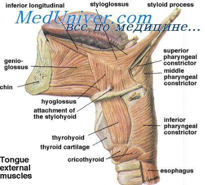 Mišice grla. Zunanji in lastne mišice grla