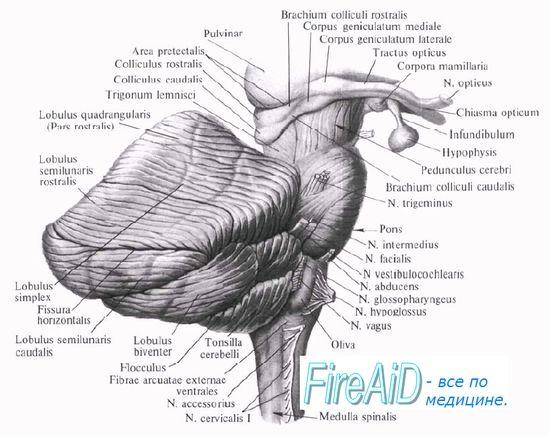 Pnevmotaksichesky центар. Влијанието на мостот на респираторниот ритам. Apneystichesky центар. Apneyzis. Респираторната функција на 'рбетниот моторните неврони.