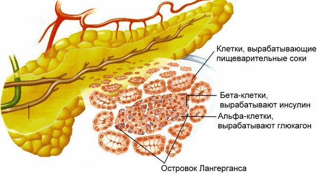Slinivka je důležitým vnitřních orgánů v lidském těle