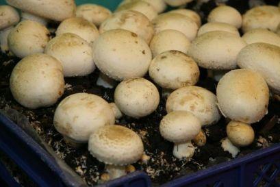 Покривање на почвата и поставување на печурки