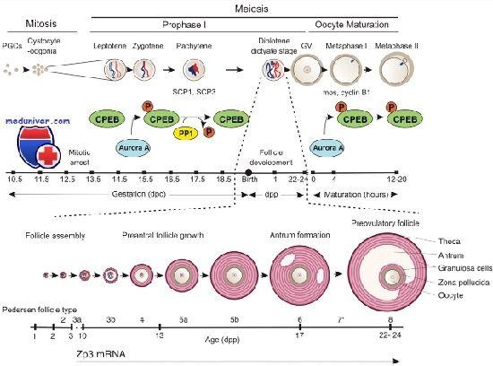 Полярность ооцита. Цитоплазматическая реорганизация