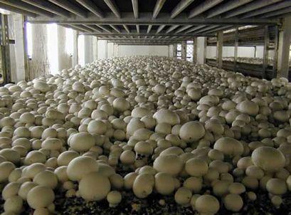 Садење и одгледување на печурки