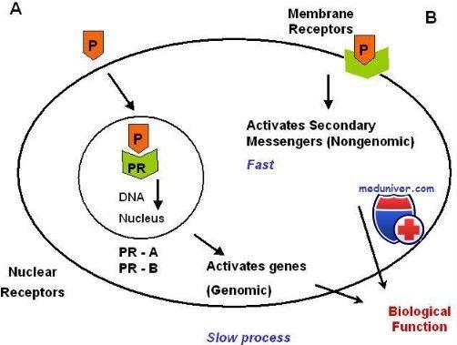 Прогестероновый рецептор. Строение и функция