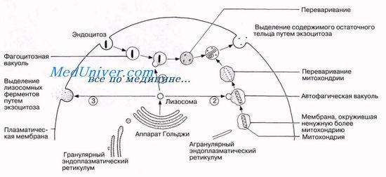 Аутофагально-лизосомальная система расщепления белка апоптоз