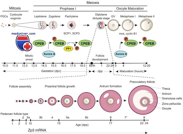Развитие ооцитов. Профаза i мейоза