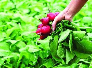 Ротквица, одгледување, сорти
