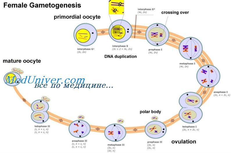 Регуляция фолликулогенеза. Трансформирующий фактор роста бета (тфр-b)