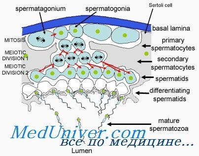 Регуляция сперматогенеза. Факторы влияющие на формирование сперматозоидов
