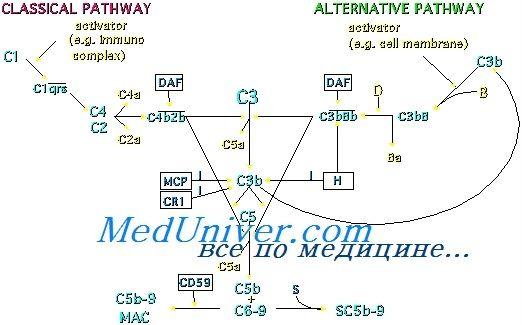 Регуляторные механизмы комплемента. Защитные функции комплемента