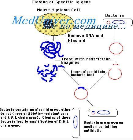 активирање на B-лимфоцити