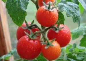 Домат Одгледување за earliness, druzhnost созревање и ладна отпор
