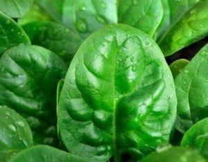 Спанаќ, одгледување, сорти