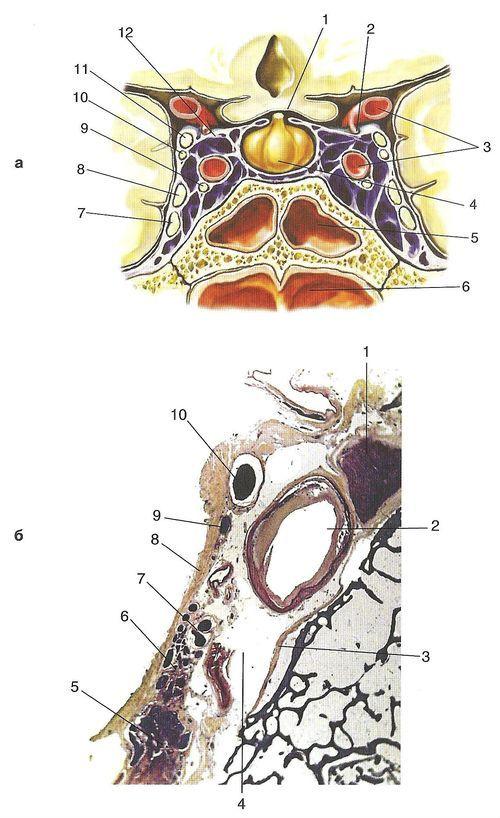 Secțiune transversală a sinusului cavernos