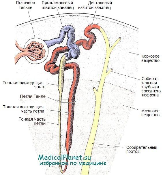 nefronilor rinichi