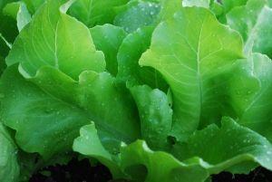 Санта мраз зелена салата сорти за одгледување во отворен терен