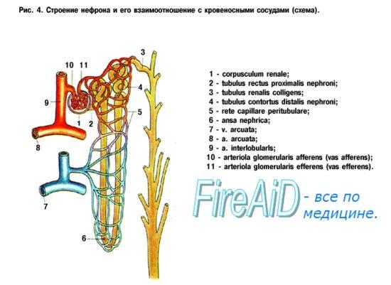 renale Structura (rinichi). alimentare cu sânge renal. vaselor renale (renale).