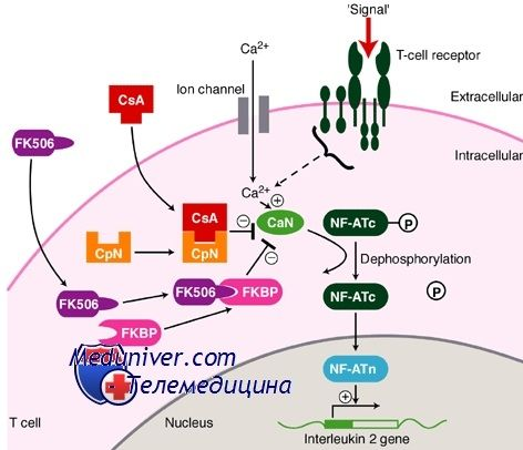Такролимус, кортикостероиды и антитела для иммуносупрессии