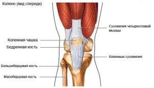 Тазобедренный и коленный суставы взрослого человека