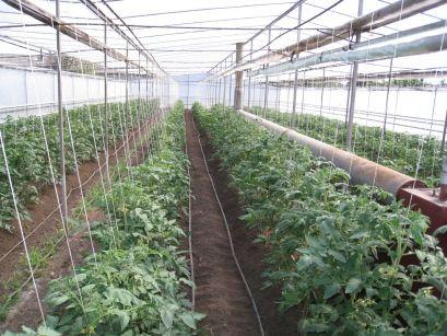 На технологијата на одгледување домати во стаклена градина