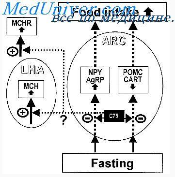 Регуляция количества потребляемой пищи. Кратковременная регуляция потребления пищи