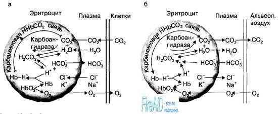 Улогата на еритроцити во транспортот на јаглерод диоксид. Ефект Холден.