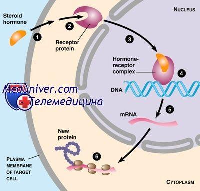 Транспорт половых гормонов. Половые гормоны связывающий глобулин (пгсг)