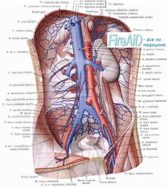 Перфузијата бубрезите (бубрежна). На интензитетот на протокот на крв во бубрежните крвни садови (бубрежна). Миогено, хуморалниот регулирање на протокот на крв во бубрезите (бубрежна).