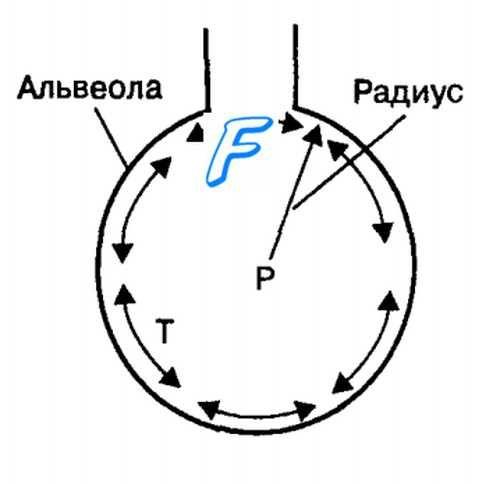 Алвеолите. Сурфактант. на површинскиот напон на течноста слој во алвеолите. закон Лапласова е.