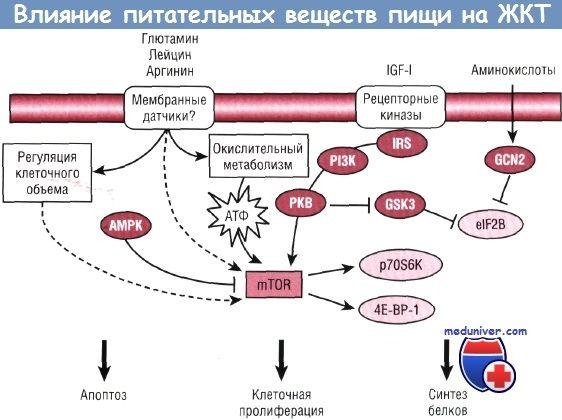 Vliv živin na růst a rozvoji trávicího traktu (GIT)