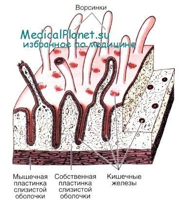 Врожденный иммунитет кишечника: участие эпителия