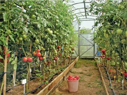 Одгледување домати во пластеници