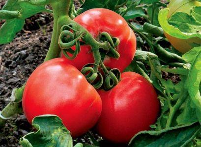 Изведените Оценки (хибриди) од домати, повеќе погодна за целосна механизација на одгледување