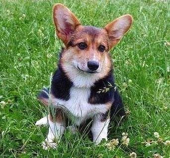 Панкреатитис: болест и воспаление на панкреасот кај кучињата
