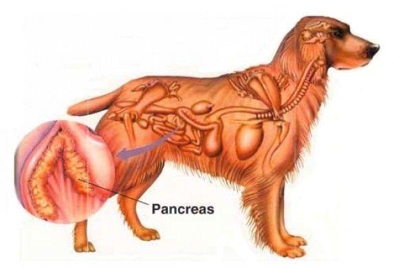 Панкреасот кај кучиња