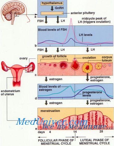 Значение и функции прогестерона. Биоинтез и обмен