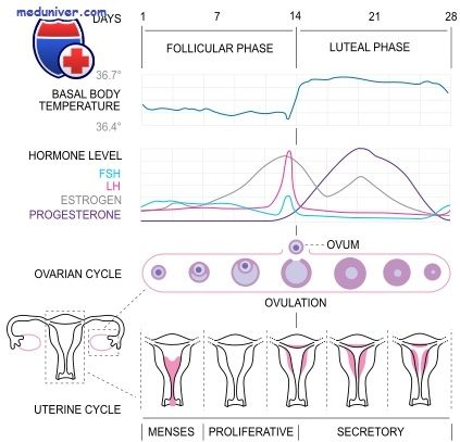 Значение эстрогенов. Функции